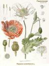 Opiumpoppy